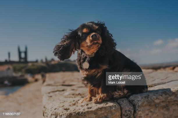 cavalier king charles spaniel dog sitting on the pier in st andrews, scotland - cavalier king charles spaniel imagens e fotografias de stock