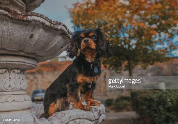 cavalier king charles spaniel dog standing in a fountain with autumn leaves on the trees - cavalier king charles spaniel stock pictures, royalty-free photos & images