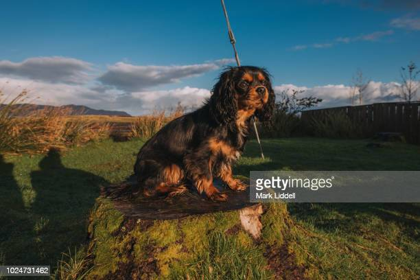 cavalier king charles spaniel dog standing on a tree stump in the countryside, isle of skye - cavalier king charles spaniel imagens e fotografias de stock