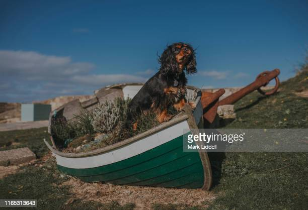 cavalier king charles spaniel dog standing proudly in a wooden rowboat - spaniel - fotografias e filmes do acervo