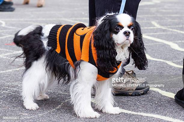 Cavalier King Charles Spaniel Dressed in a costume