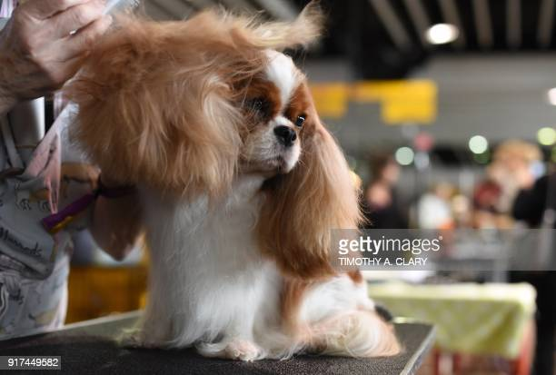 A Cavalier King Charles Spaniel is groomed in the benching area on Day One of competition at the Westminster Kennel Club 142nd Annual Dog Show in New...
