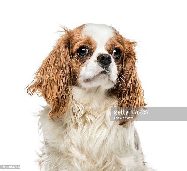 cavalier king charles spaniel isolated on white - cavalier king charles spaniel photos et images de collection