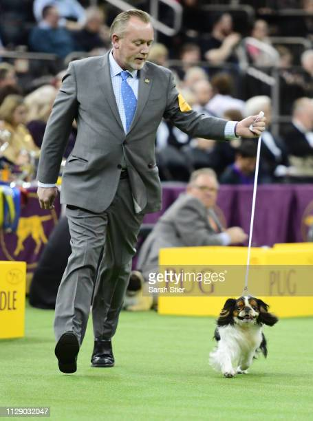 Cavalier King Charles Spaniel 'Kellene Backseat Boy' and trainer compete during the Toy Group judging at the 143rd Westminster Kennel Club Dog Show...