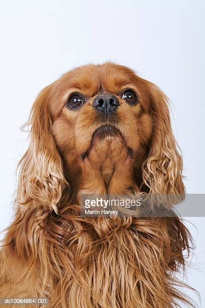 cavalier king charles spaniel looking up, studio shot - spaniel stock pictures, royalty-free photos & images
