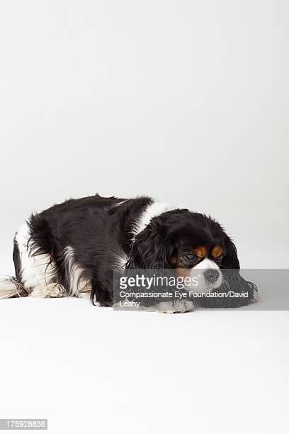 Cavalier King Charles Spaniel, lying down