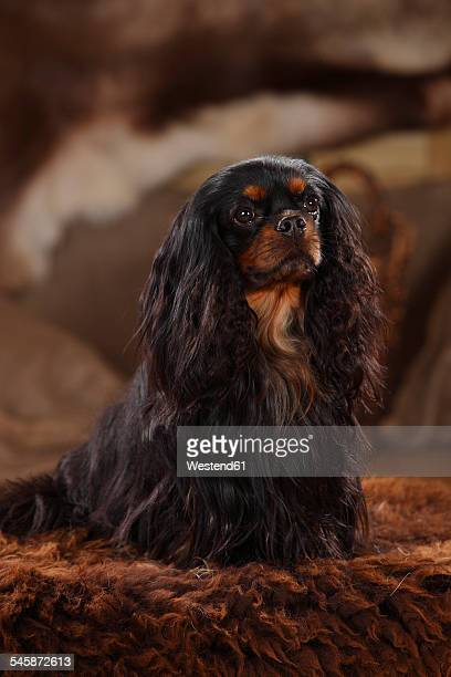 Cavalier King Charles Spaniel, male dog, black-and-tan