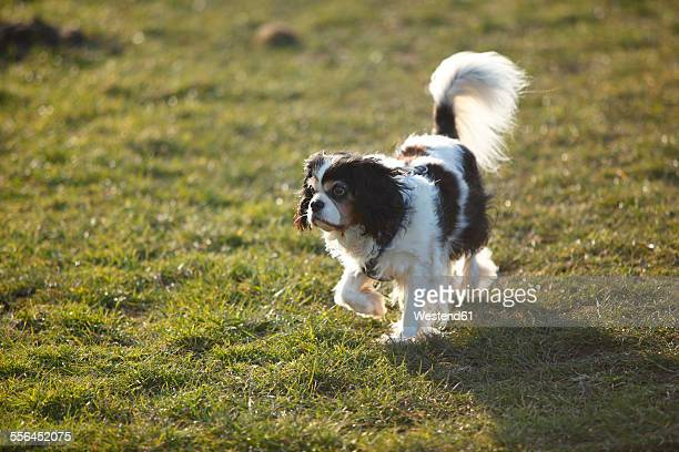 Cavalier King Charles Spaniel on a meadow