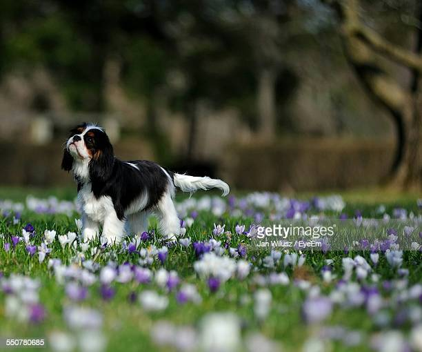 Cavalier King Charles Spaniel On Amidst Flowers Growing On Field