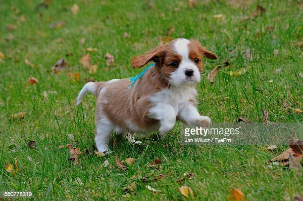 cavalier king charles spaniel on grassy field - cavalier king charles spaniel stock pictures, royalty-free photos & images