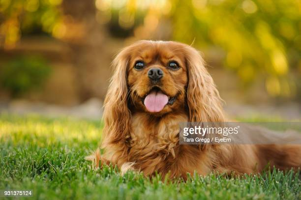 cavalier king charles spaniel panting while resting on grass - cavalier king charles spaniel stock pictures, royalty-free photos & images