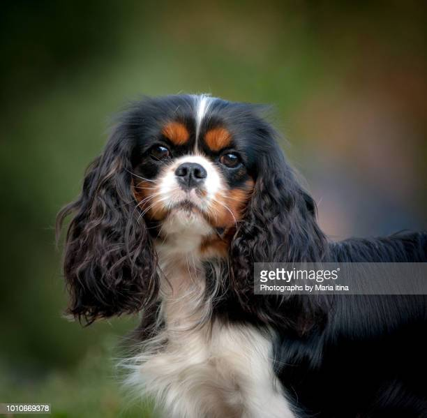 cavalier king charles spaniel - cavalier king charles spaniel stock pictures, royalty-free photos & images
