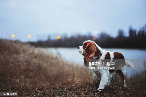 cavalier king charles spaniel - faina stock pictures, royalty-free photos & images