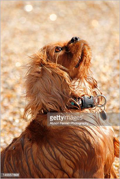 cavalier king charles spaniel - alyson fennell stock pictures, royalty-free photos & images