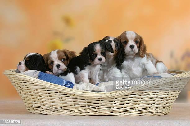 cavalier king charles spaniel, puppies, 7 weeks, in basket - cavalier king charles spaniel imagens e fotografias de stock