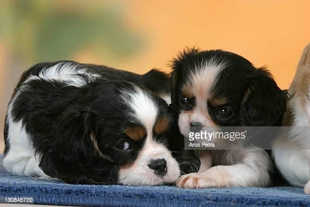 Cavalier King Charles Spaniel, puppies, 7 weeks, tricolor
