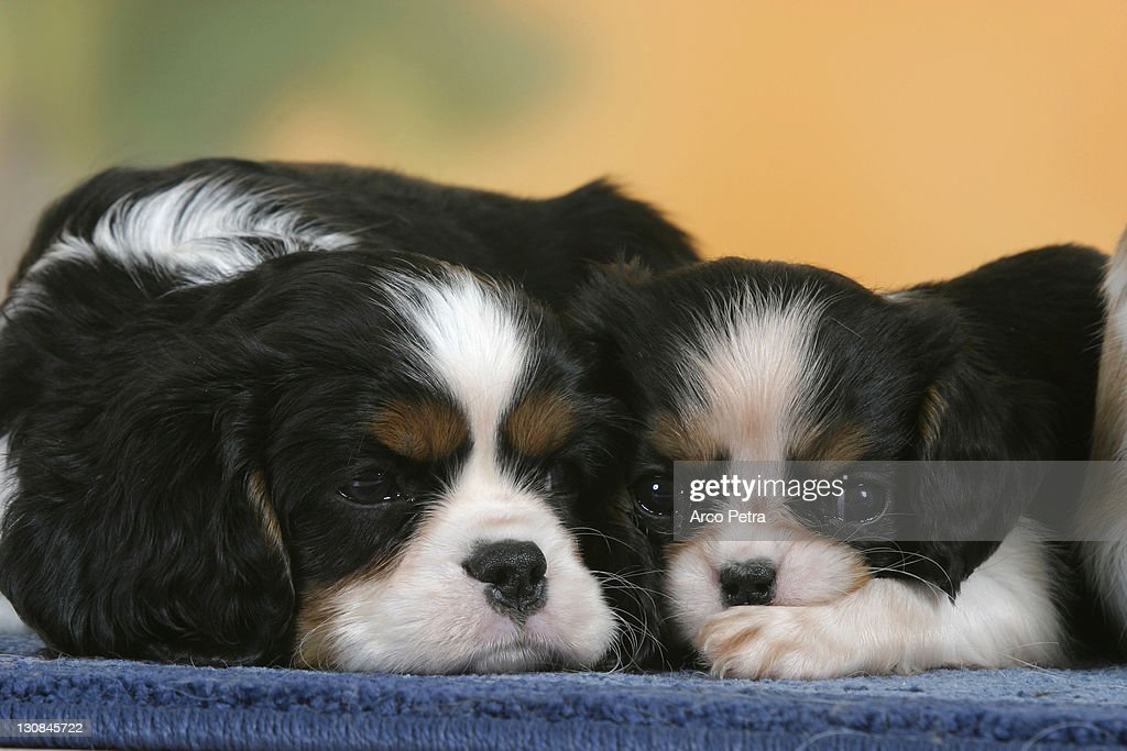 Cavalier King Charles Spaniel Puppies 7 Weeks Tricolor Foto De Stock Getty Images