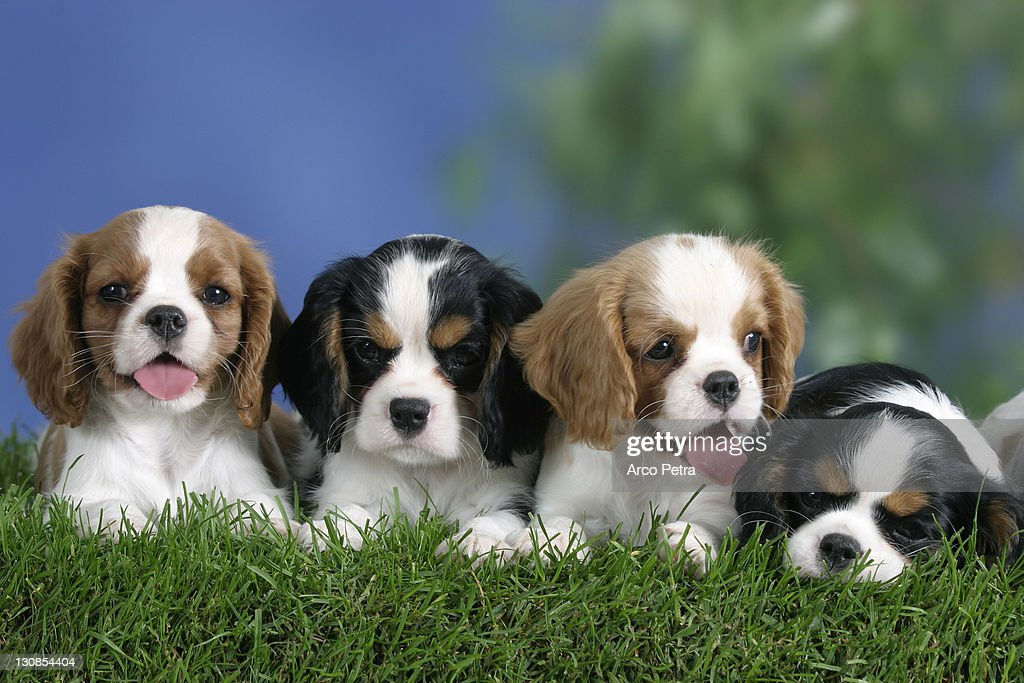 Cavalier King Charles Spaniel Puppies 8 Weeks Tricolor And Blenheim High Res Stock Photo Getty Images