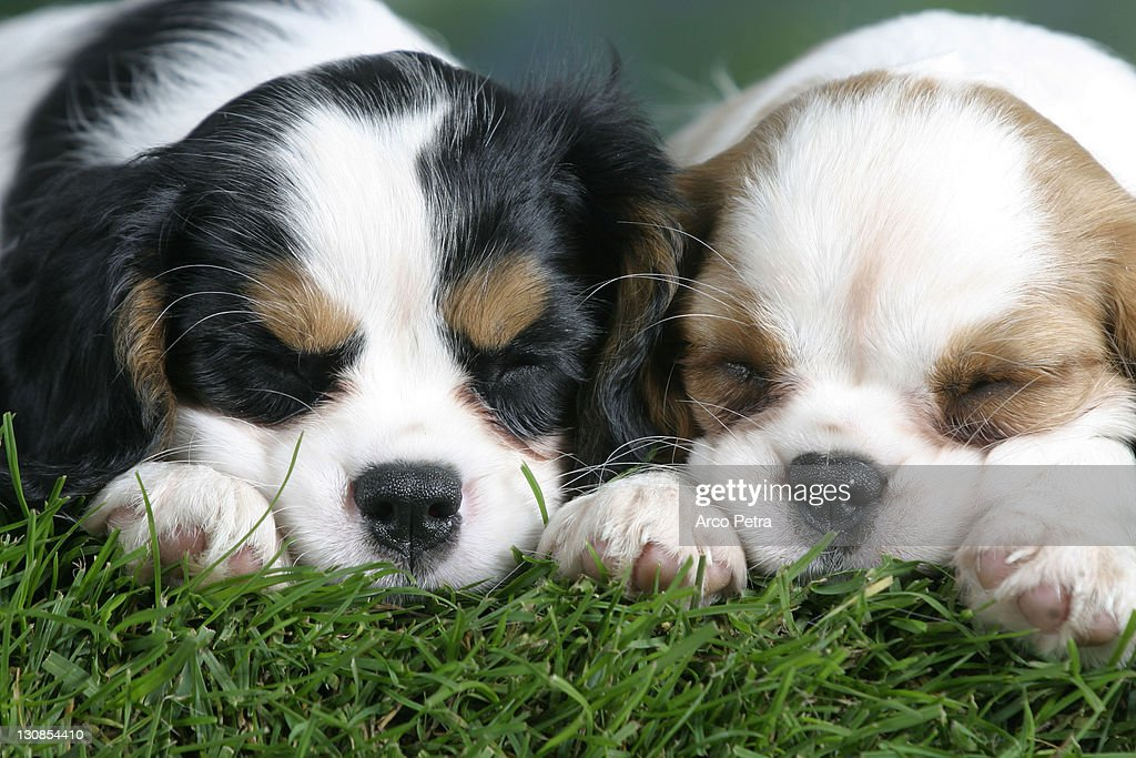 Cavalier King Charles Spaniel Puppies 8
