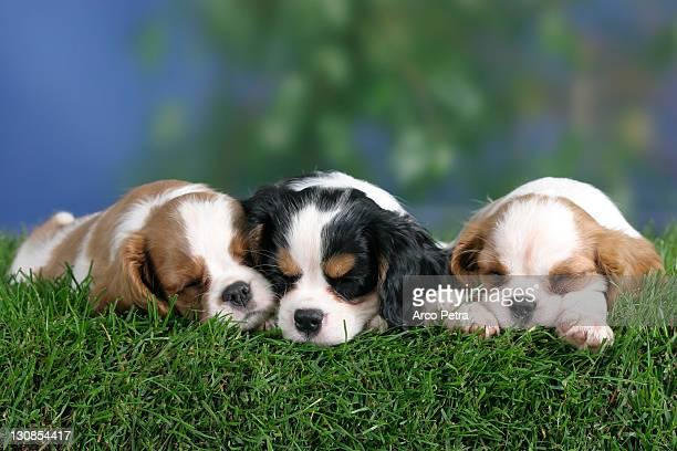 cavalier king charles spaniel puppies, 8 weeks, tricolor and blenheim - cavalier king charles spaniel imagens e fotografias de stock