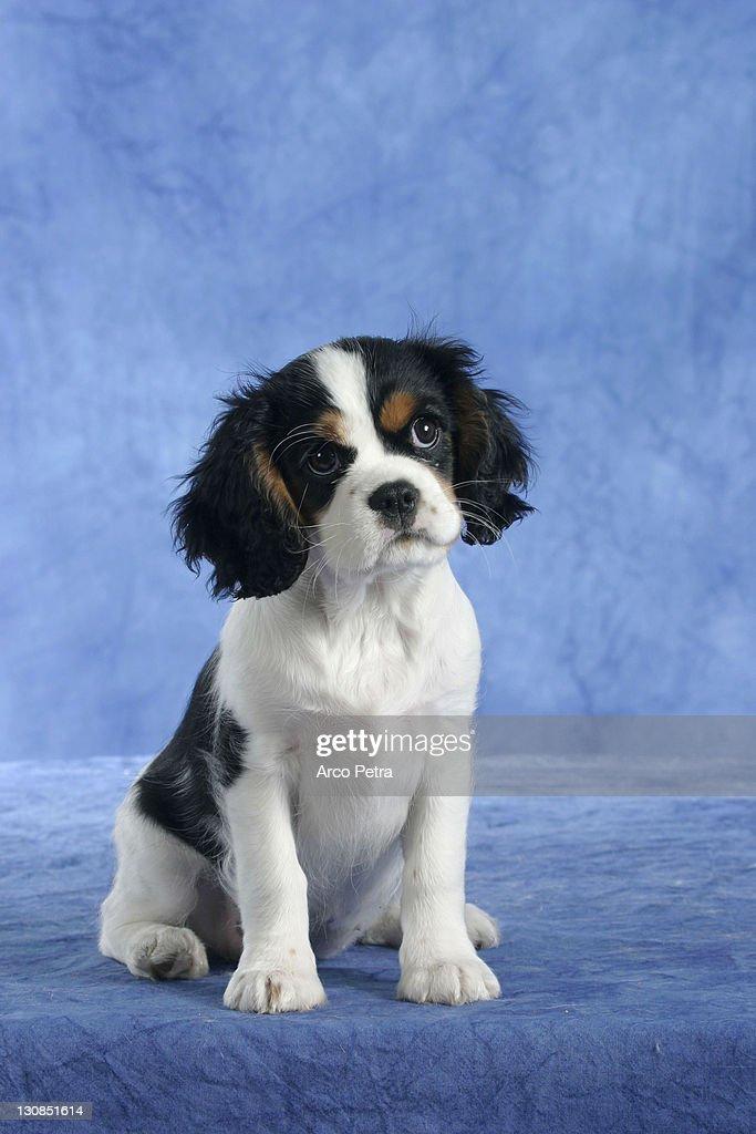 Cavalier King Charles Spaniel Puppy 11
