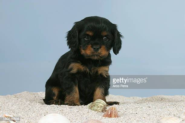 Cavalier King Charles Spaniel, puppy, 6 weeks, black-and-tan