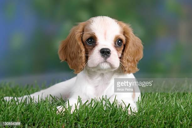 cavalier king charles spaniel, puppy, 8 weeks, blenheim - cavalier king charles spaniel imagens e fotografias de stock