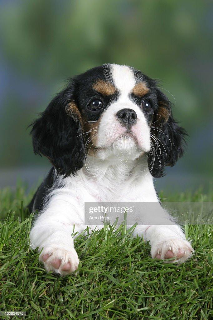 Cavalier King Charles Spaniel Puppy 8