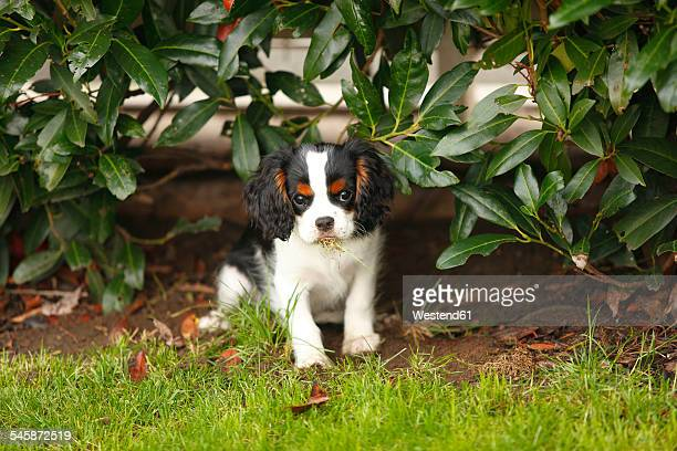 cavalier king charles spaniel puppy eating grass under a shrub - cavalier king charles spaniel photos et images de collection