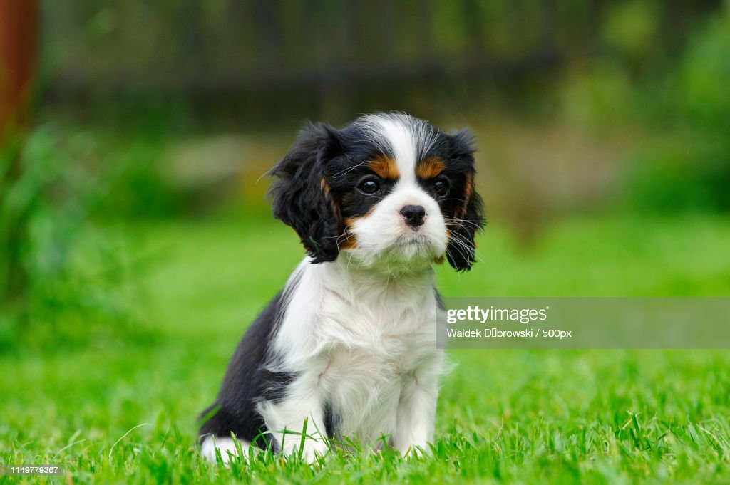 Cavalier King Charles Spaniel Puppy In Garden High Res Stock Photo Getty Images
