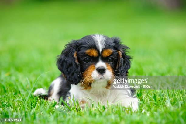 cavalier king charles spaniel puppy in garden - cavalier king charles spaniel imagens e fotografias de stock