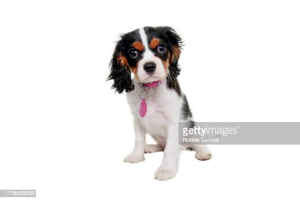 cavalier king charles spaniel puppy looking at the camera on a white background - young animal stock pictures, royalty-free photos & images