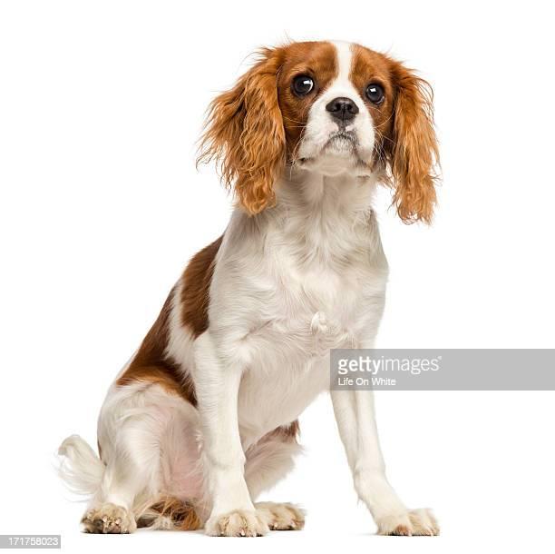 cavalier king charles spaniel puppy, sitting - cavalier king charles spaniel imagens e fotografias de stock