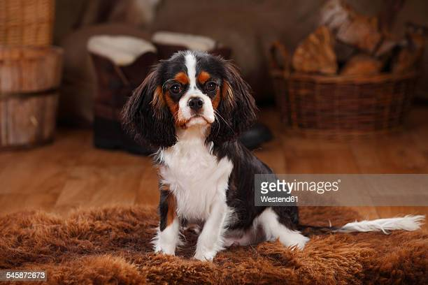 cavalier king charles spaniel, puppy, tricolour, puppy - cavalier king charles spaniel stock pictures, royalty-free photos & images