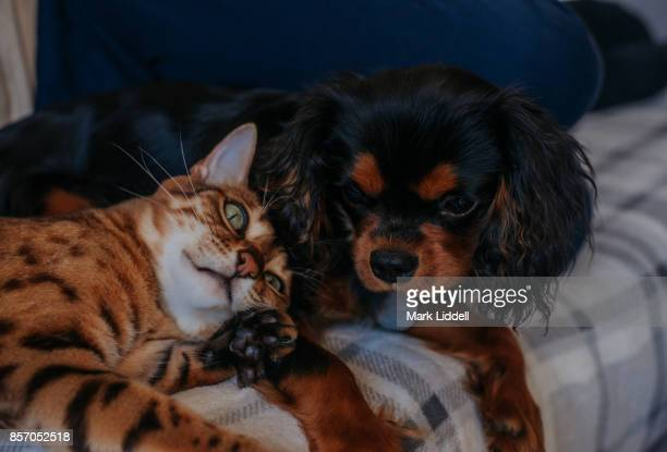 cavalier king charles spaniel puppy with bengal cat - cavalier king charles spaniel stock pictures, royalty-free photos & images