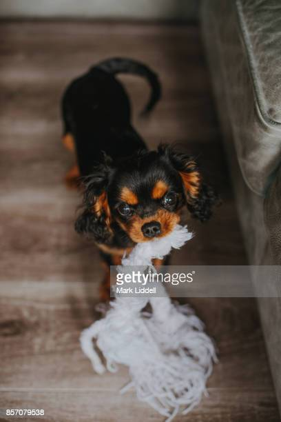 Cavalier King Charles Spaniel puppy with toy in mouth