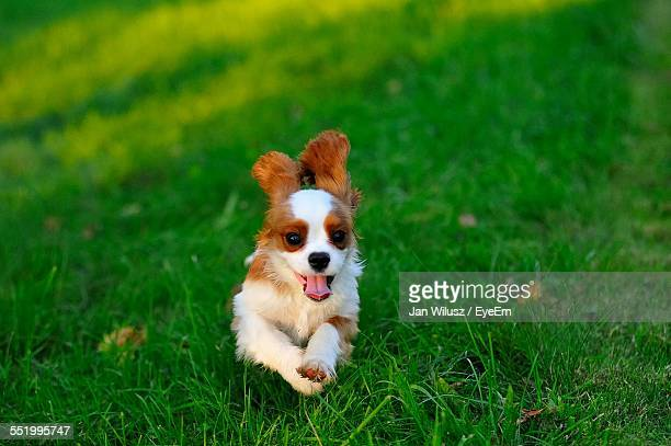 cavalier king charles spaniel running on field - cavalier king charles spaniel photos et images de collection