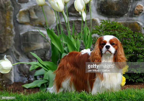 cavalier king charles spaniel standing on field - cavalier king charles spaniel stock pictures, royalty-free photos & images