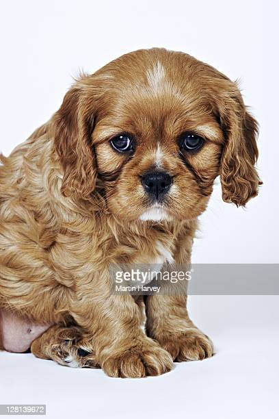 cavalier king charles spaniel. toy dog breed named after king charles i, which had these dogs as pets for his children. studio shot against a white background. owned by tara mcclinton of south africa. - carnivora stock pictures, royalty-free photos & images