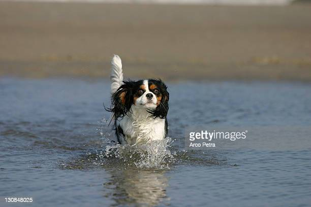 Cavalier King Charles Spaniel, tricolor, at beach wet