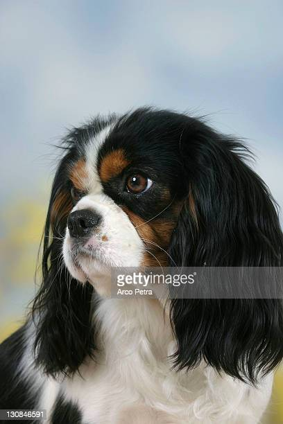 Cavalier King Charles Spaniel, tricolor