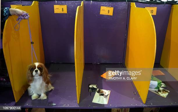 A Cavalier King Charles Spaniel waits in the benching area during the Daytime Session in the Breed Judging across the Hound Toy NonSporting and...