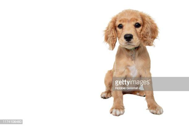 cavalier king charles spaniel/poodle mix puppy looking at the camera sitting in front of a white backdrop - cavalier king charles spaniel imagens e fotografias de stock