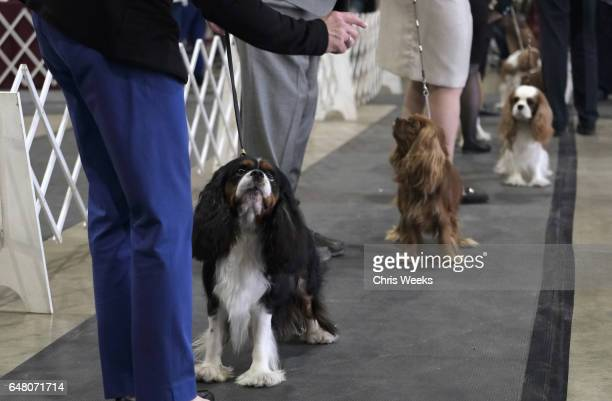 Cavalier King Charles Spaniels compete at the Annual Kennel Club of Beverly Hills Dog Show at Pomona Fairplex on March 4 2017 in Pomona California