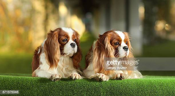 cavalier king charles spaniels - cavalier king charles spaniel stock pictures, royalty-free photos & images