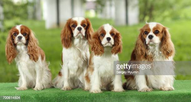 cavalier king charles spaniels. - cavalier king charles spaniel photos et images de collection