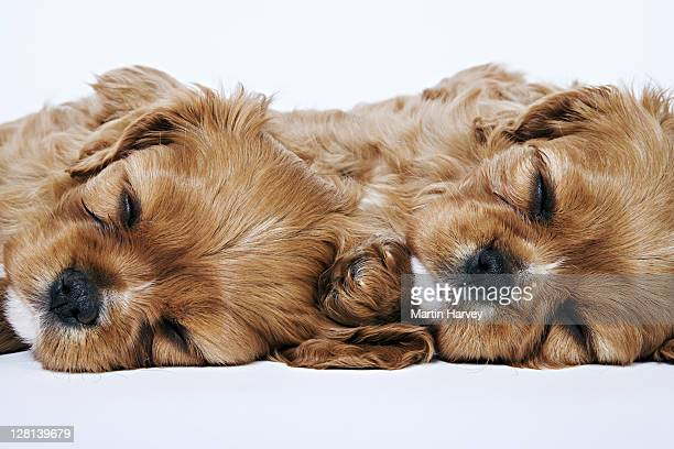 cavalier king charles spaniels. toy dog breed named after king charles i, which had these dogs as pets for his children. studio shot against a white background. owned by tara mcclinton of south africa. - cavalier king charles spaniel imagens e fotografias de stock