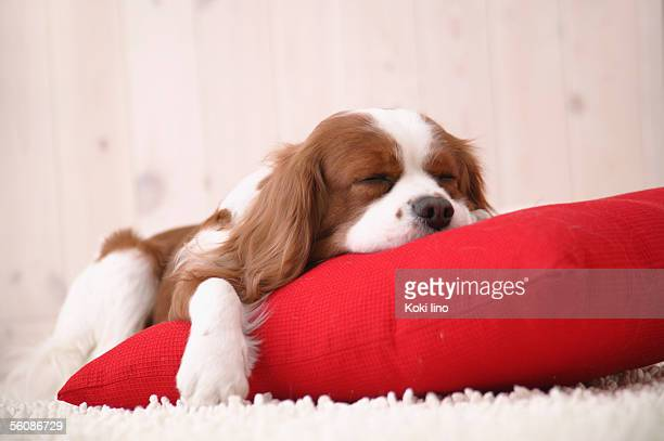 cavalier sleeping - cavalier king charles spaniel stock pictures, royalty-free photos & images