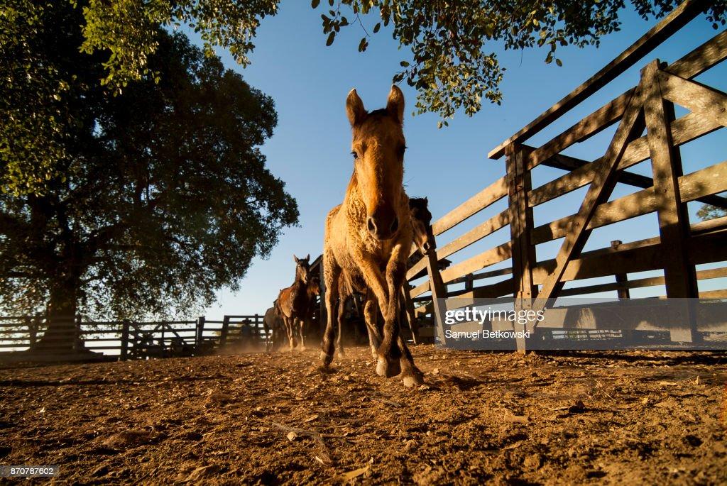 Cavalo pantaneiro encarando a câmera dentro do curral : Stock Photo