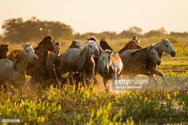 cavalos pantaneiros galopando em um charco - pantanal wetlands stock pictures, royalty-free photos & images